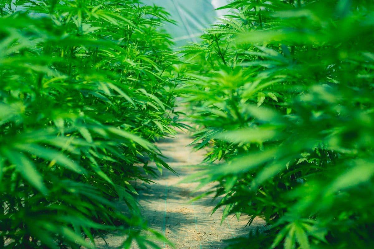 Scegliere Quale Cannabis Light Coltivare