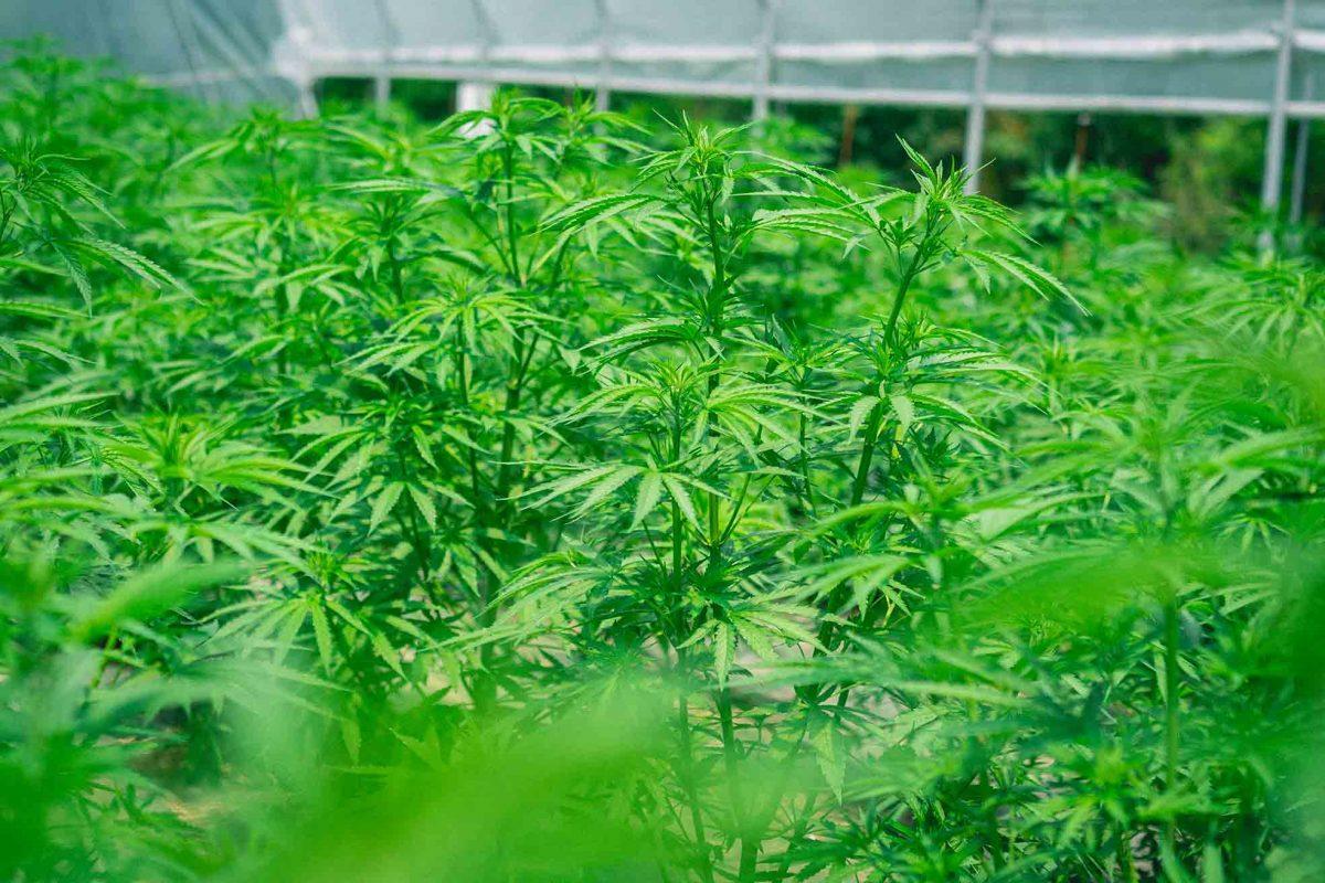 Coltivare Cannabis Legale Perche Semi Femminizzati