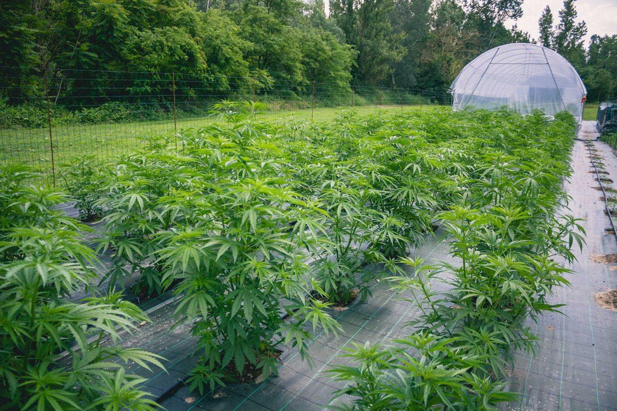Cannabis Terapeutica Benefici Filiera Italiana