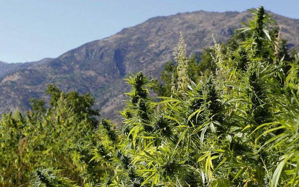 Depenalizzare marijuana salvare vite studio americano spiega perchè