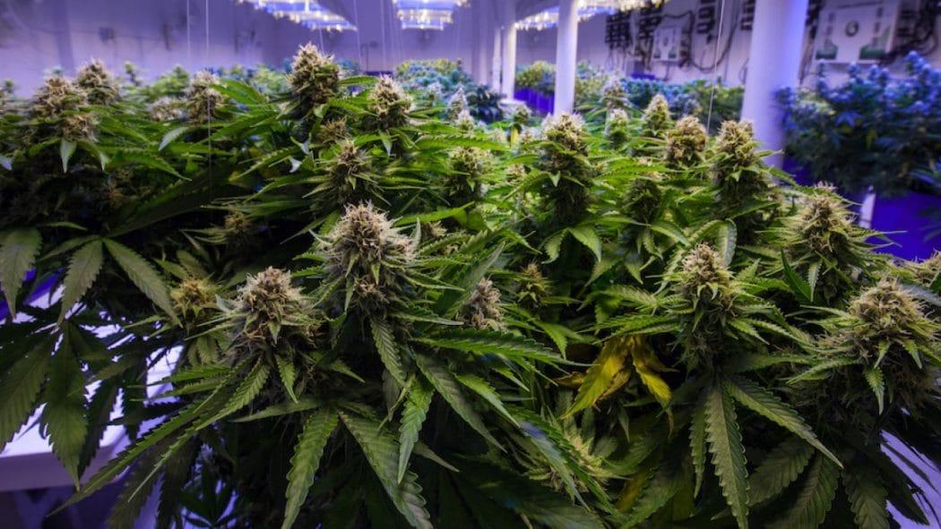 Colombia Approva Consumo Pubblico Marijuana Terapeutica