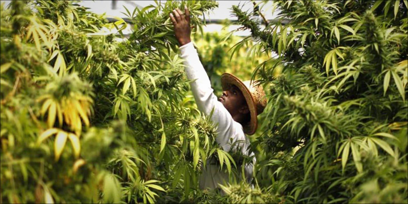 studio rivela nigeriani detengono record mondiale consumo di cannabis