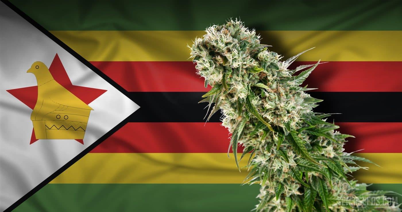 Zimbabwe via libera prima coltivazione cannabis medica