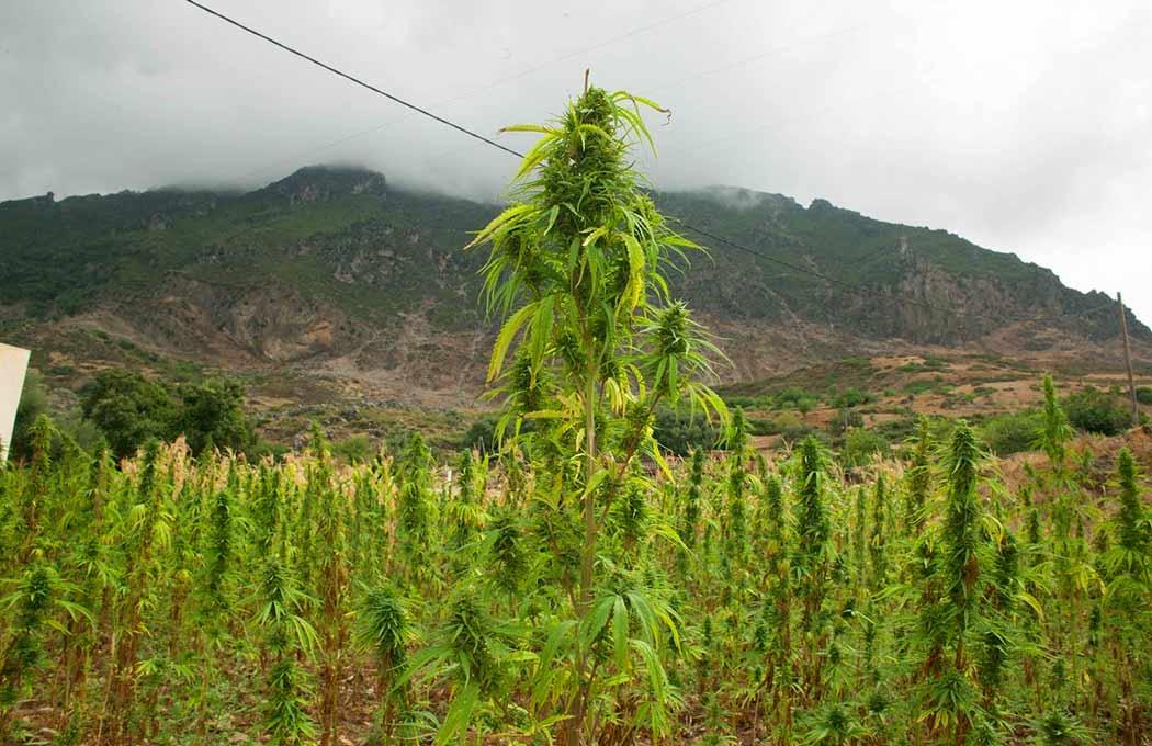 Consociazione-Piante-Alleate-Coltivazione-Cannabis