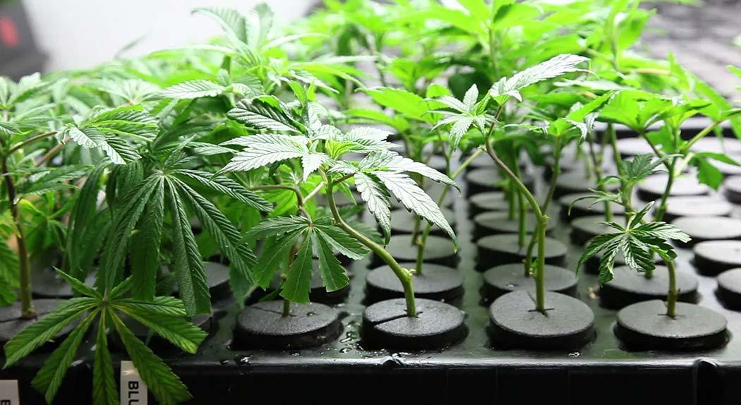 Agricoltura-Aeroponica-Coltivazione-Cannabis-Pro-Contro