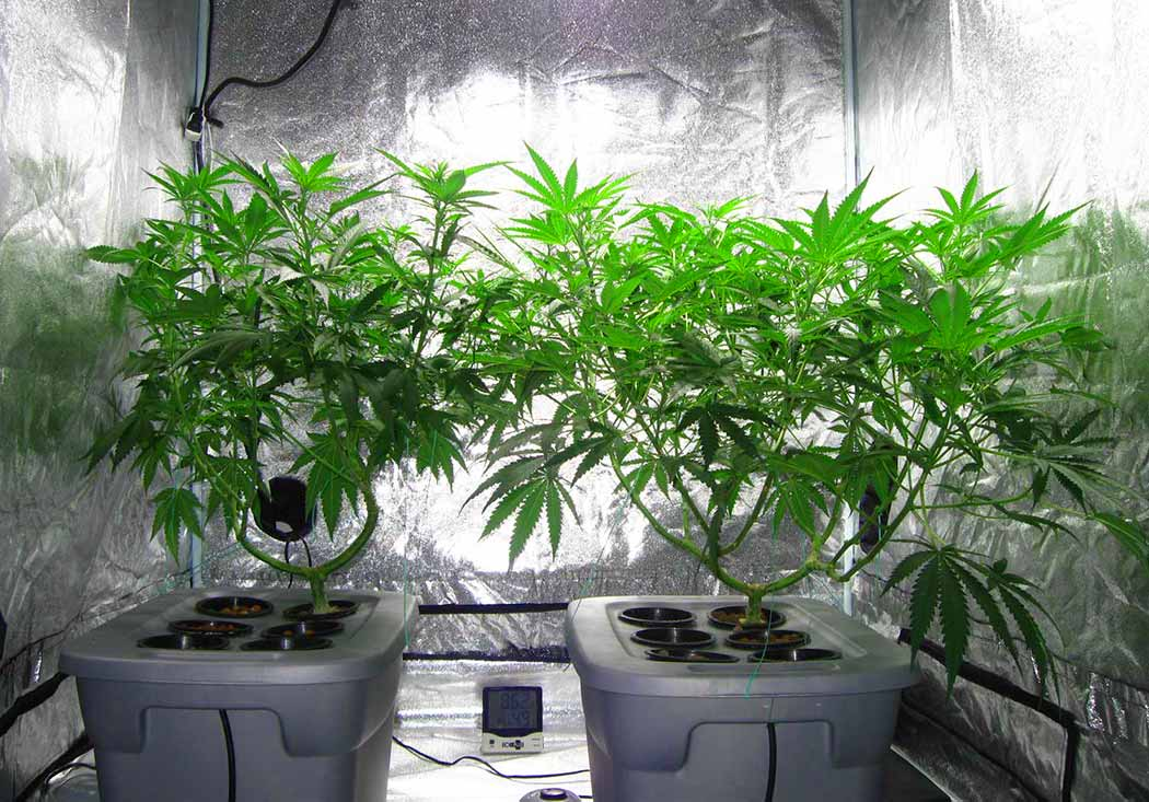 Cosa Come Funziona Vantaggi Coltivazione Idroponica Cannabis