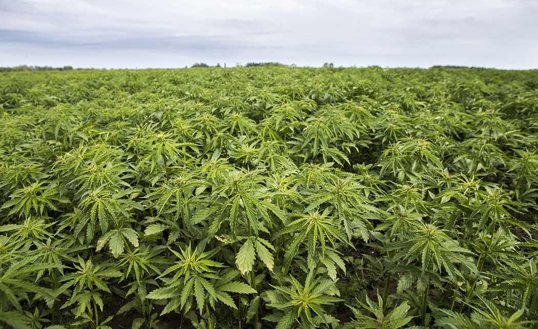 Perche Come Fare Risciacquo Piante Cannabis