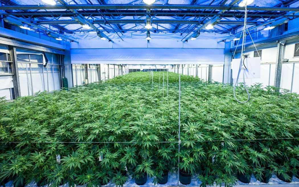 Utilizzare Substrato Fibra Cocco Coltivare Cannabis