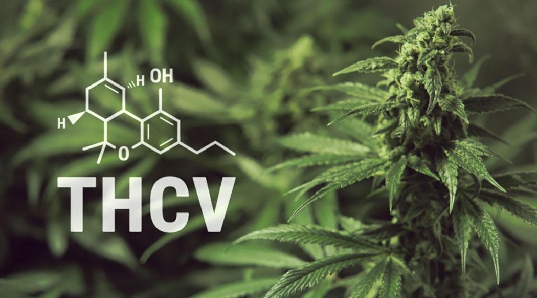 THCV Cosa Cannabinoide Regola Appetito