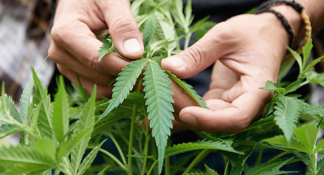 Come Coltivare Piante Cannabis Aromatiche Ricche Terpeni
