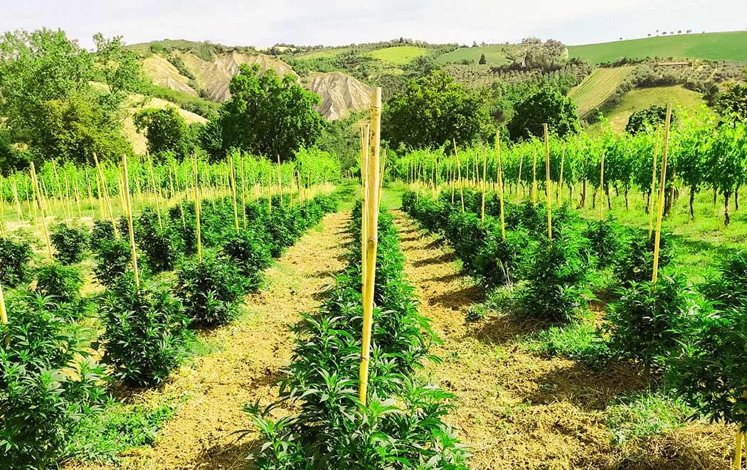 Come Conservare Semi Cannabis