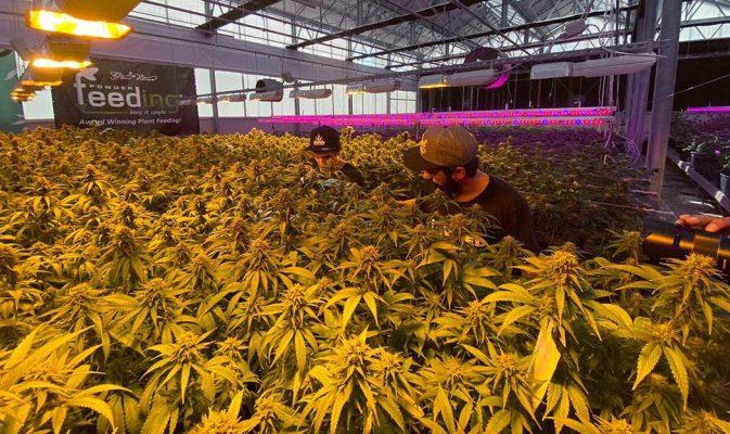 Come Scegliere Semi Cannabis Light Qualita Tipologia Aspetto
