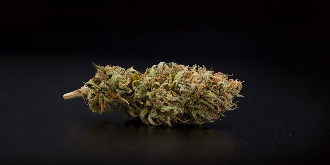 Guida-Genetica-Orange-Bud-Infiorescenza-Cannabis-Ricca-CBD