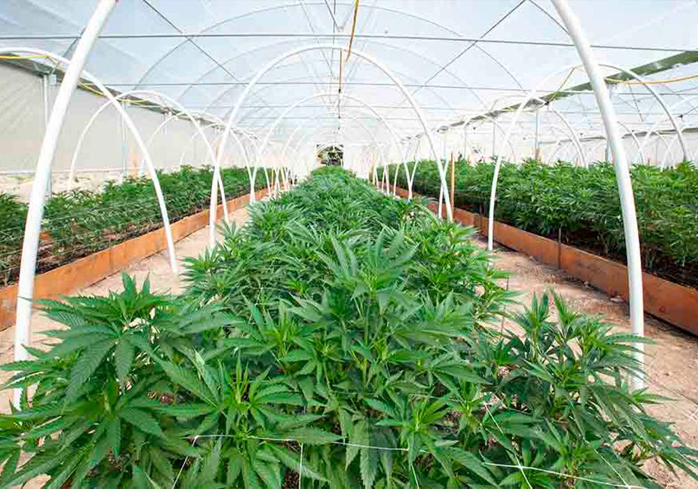 Come Coltivare Cannabis Biologica Vegana Guida