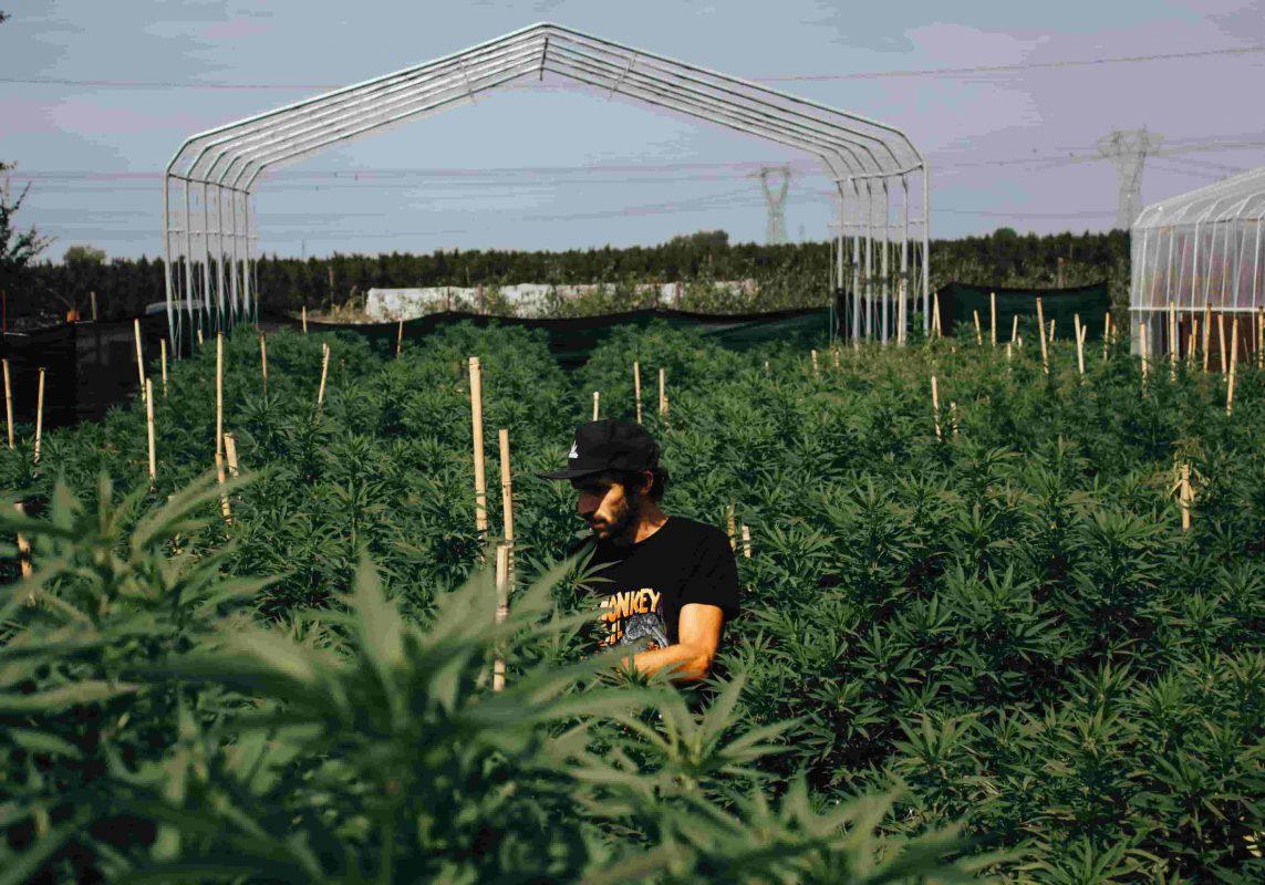 come-curare-radici-cannabis-min