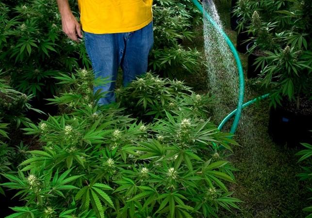 come-innaffiare-piante-cannabis