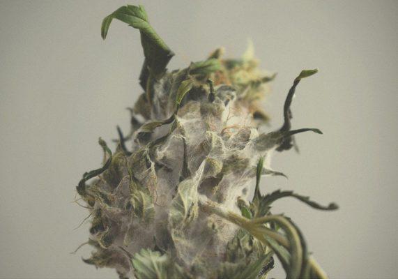 come-scoprire-evitare-pericolosa-muffa-cannabis