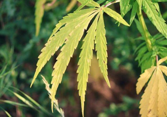 riconoscere-risolvere-carenza-potassio-piante-cannabis