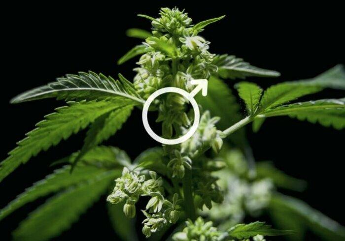 cosa-fare-piante-cannabis-maschio